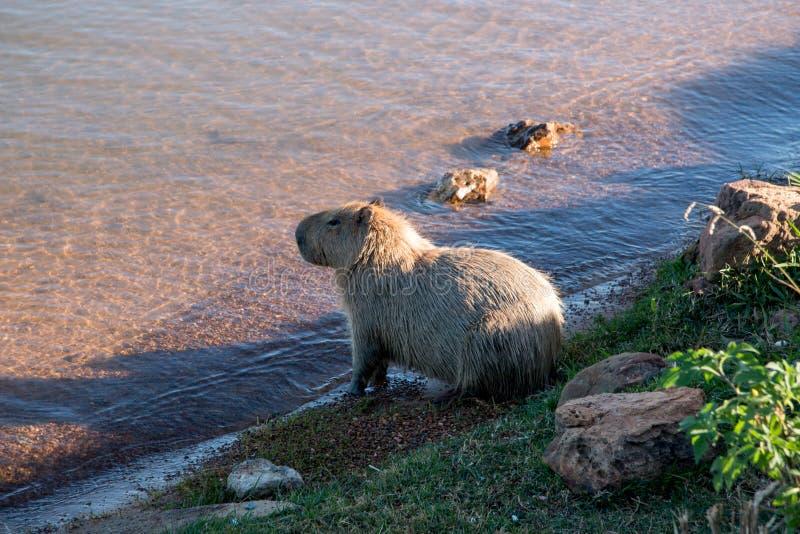 Μόνη σίτιση Capybaras εκτός από τη λίμνη μια ηλιόλουστη ημέρα στοκ εικόνες