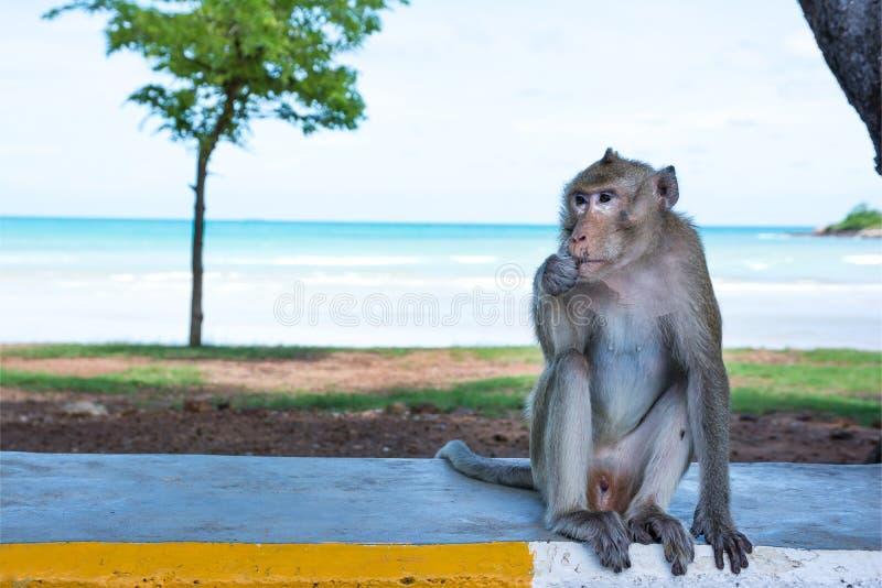 Μόνη συνεδρίαση πιθήκων στο δρόμο εκτός από τη θάλασσα στοκ εικόνες