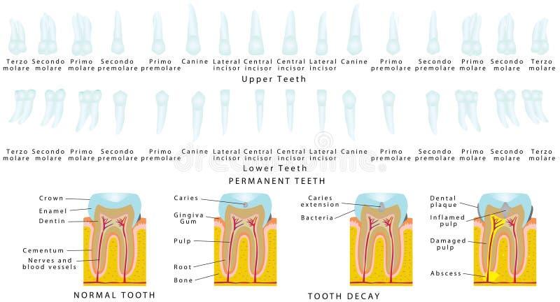 μόνιμα δόντια απεικόνιση αποθεμάτων