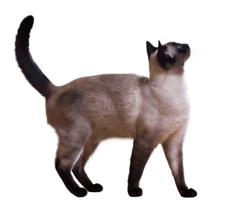 Μόνιμη σιαμέζα γάτα στοκ φωτογραφία με δικαίωμα ελεύθερης χρήσης