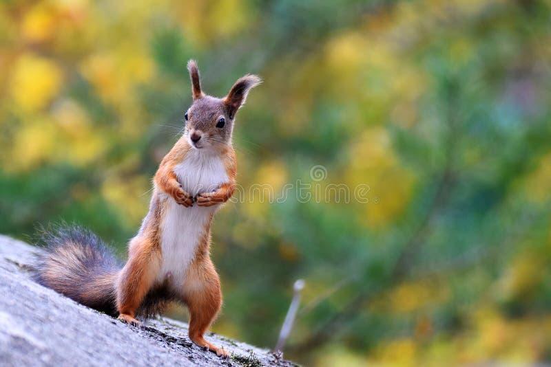 Μόνιμος σκίουρος στοκ φωτογραφίες