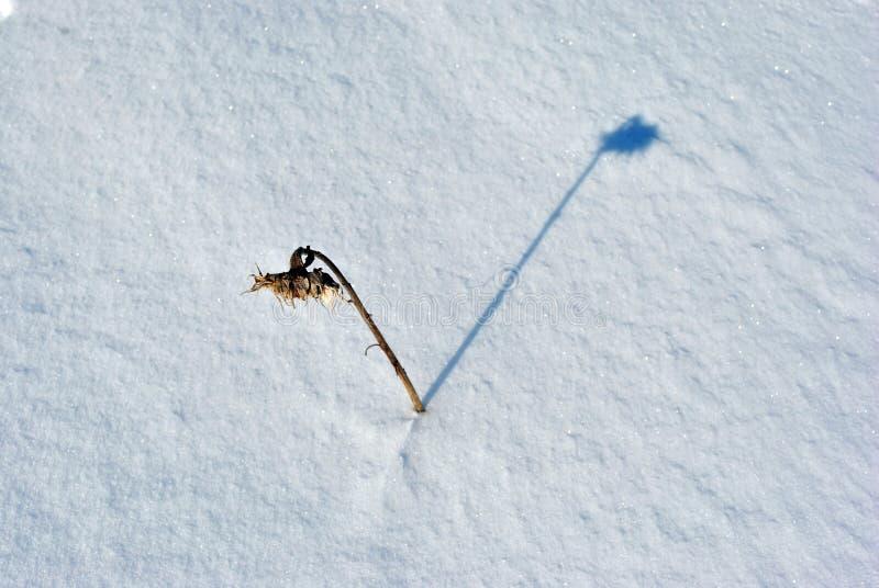 Μόνοι μαραμένοι ηλίανθοι στο χιονώδη τομέα στοκ φωτογραφίες