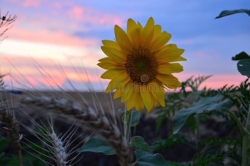 Μόνος ηλίανθος βραδιού και θαυμάσιο ηλιοβασίλεμα στοκ φωτογραφία
