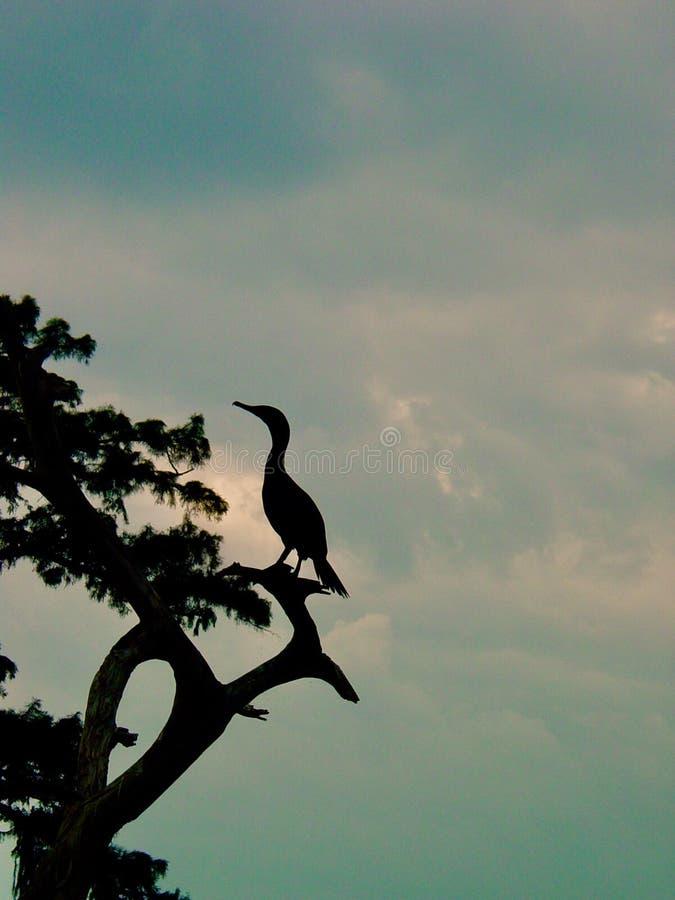 Μόνος κορμοράνος σε Bayou στοκ φωτογραφία με δικαίωμα ελεύθερης χρήσης