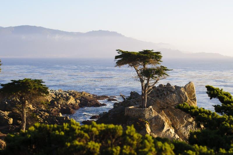 Μόνο δέντρο κυπαρισσιών στοκ φωτογραφία