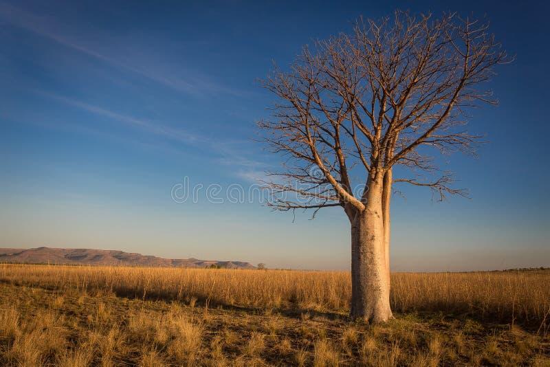 Μόνο δέντρο Boab στα απέραντα επίπεδα χλόης με τη σειρά Cockburn στο υπόβαθρο στοκ φωτογραφία
