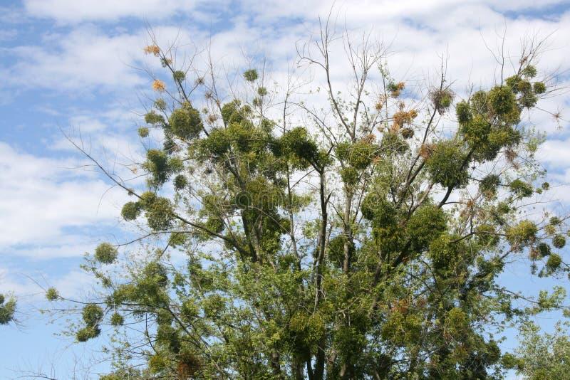 Μόνο δέντρο ενάντια σε έναν μπλε νεφελώδη ουρανό στο καλοκαίρι στοκ φωτογραφία με δικαίωμα ελεύθερης χρήσης