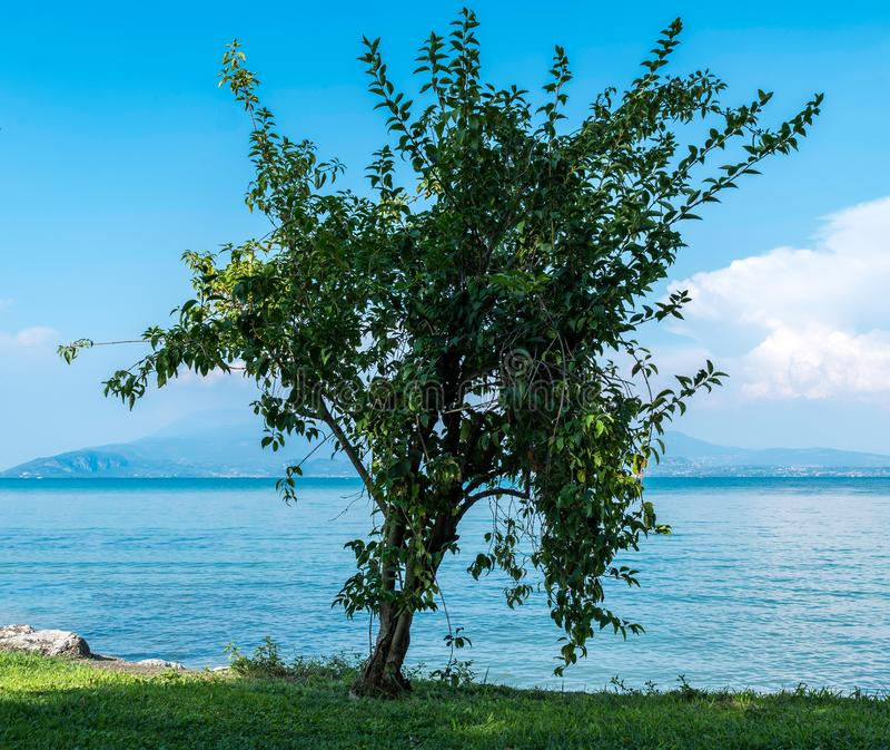 Μόνο δέντρο κοντά στην ακτή στοκ φωτογραφίες