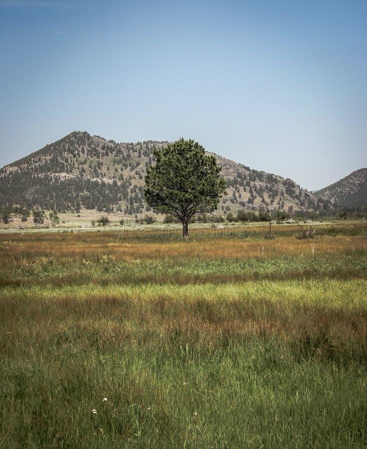 Μόνο δέντρο του Κολοράντο σε έναν τομέα στοκ εικόνες