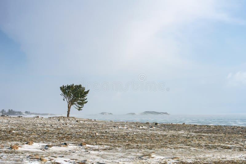Μόνο κωνοφόρο δέντρο στη δύσκολη ακτή της λίμνης Baikal κατά τη διάρκεια μιας βαριάς θύελλας στοκ φωτογραφία με δικαίωμα ελεύθερης χρήσης