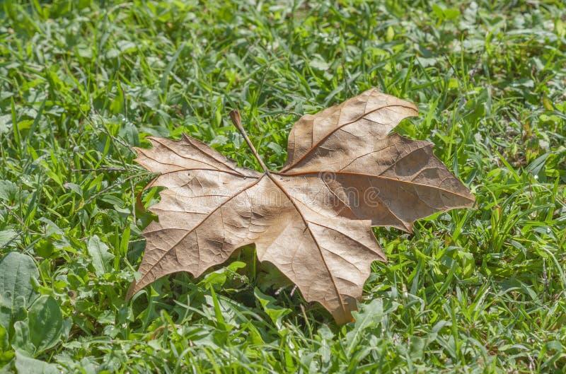 Μόνο μαραμένο δέντρο φύλλο φθινοπώρου στην πράσινη χλόη στοκ φωτογραφία με δικαίωμα ελεύθερης χρήσης