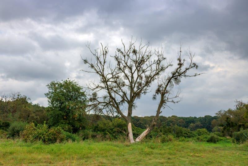 Μόνο μαραμένο δέντρο ενάντια στο δασικό και δραματικό ουρανό με το γκρίζο γ στοκ εικόνες με δικαίωμα ελεύθερης χρήσης
