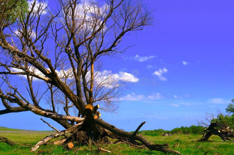 Μόνο μαραμένο δέντρο σε ένα πράσινο ξέφωτο ενάντια σε έναν ζωηρόχρωμους μπλε ουρανό και ένα δάσος στοκ εικόνα με δικαίωμα ελεύθερης χρήσης