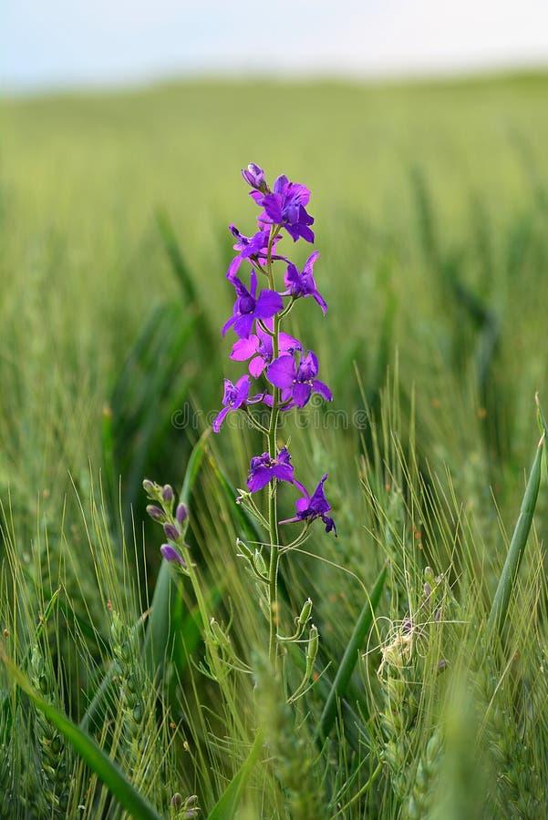 Μόνο πορφυρό λουλούδι στη μέση των δημητριακών στοκ φωτογραφία με δικαίωμα ελεύθερης χρήσης