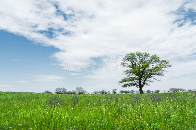 Μόνο πράσινο δέντρο στη μέση ενός τομέα λιβαδιών σε ένα κλίμα μπλε ουρανού με τα άσπρα σύννεφα μπλε σύννεφων πλήρες πράσινο τοπίο στοκ φωτογραφία