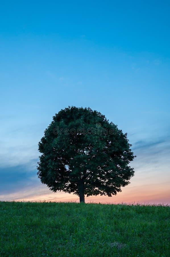 Μόνο πράσινο δέντρο στη χλόη στο ηλιοβασίλεμα - κατακόρυφος στοκ φωτογραφία