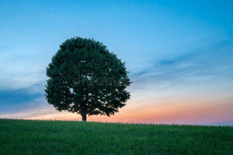 Μόνο πράσινο δέντρο στη χλόη στο ηλιοβασίλεμα - οριζόντιο στοκ εικόνες με δικαίωμα ελεύθερης χρήσης