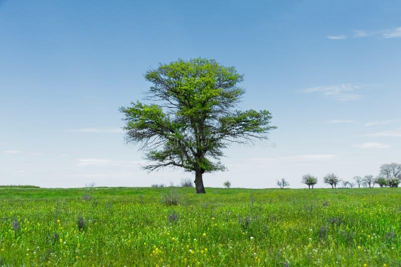 Μόνο πράσινο δρύινο δέντρο τοπίων άνοιξη σε έναν πράσινο τομέα της πολύβλαστης χλόης ενάντια σε έναν μπλε ουρανό Η έννοια της οικ στοκ εικόνες