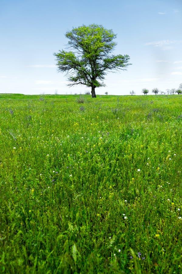 Μόνο πράσινο δρύινο δέντρο τοπίων άνοιξη σε έναν πράσινο τομέα της πολύβλαστης χλόης ενάντια σε έναν μπλε ουρανό Η έννοια της οικ στοκ εικόνες με δικαίωμα ελεύθερης χρήσης