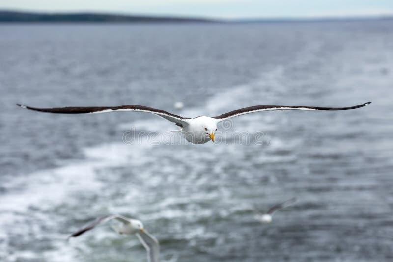 Μόνο seagull ενάντια στη θάλασσα στο δυσάρεστο καιρό στοκ εικόνα με δικαίωμα ελεύθερης χρήσης