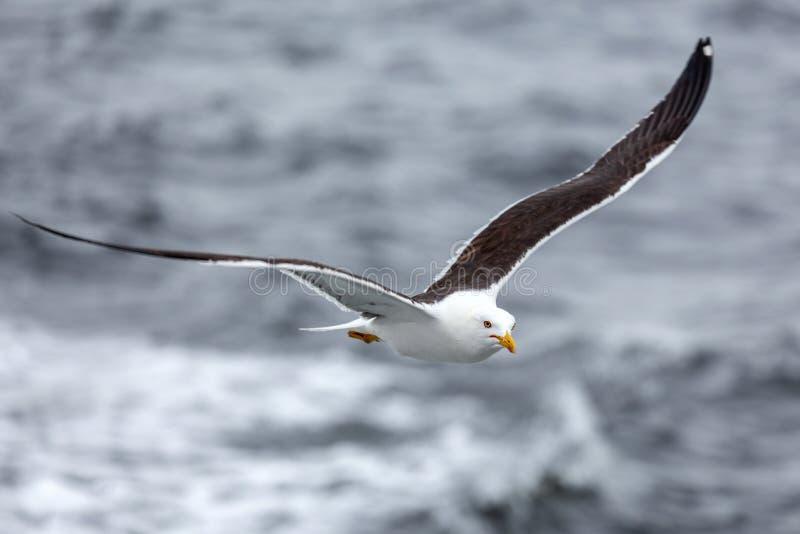 Μόνο seagull ενάντια στη θάλασσα στο δυσάρεστο καιρό στοκ φωτογραφίες με δικαίωμα ελεύθερης χρήσης
