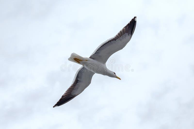 Μόνο seagull ενάντια στον ουρανό στο βροχερό καιρό στοκ φωτογραφία