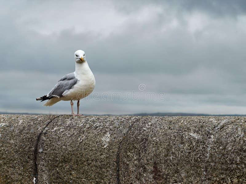 Μόνο seagull σε μια γέφυρα μια νεφελώδη ημέρα στον ωκεανό Κορνουάλλη στοκ φωτογραφίες