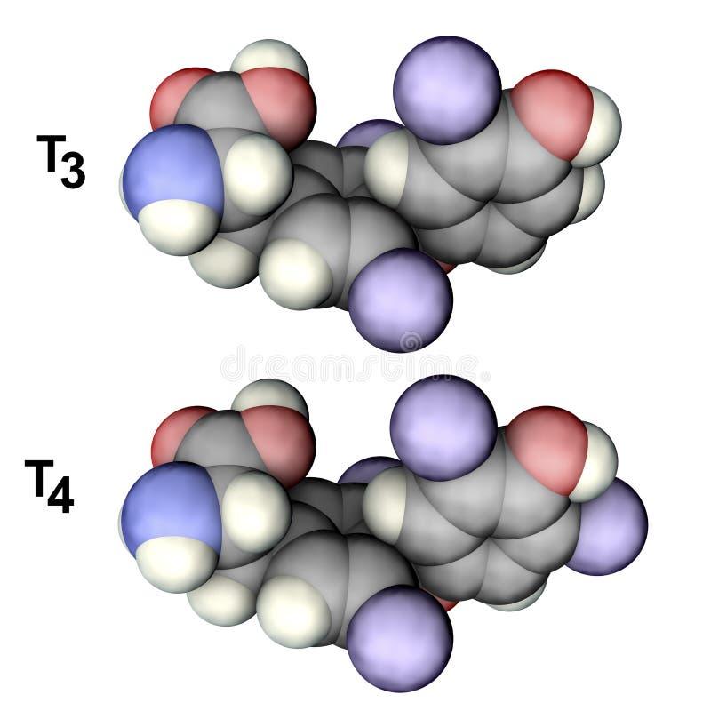 Μόρια των ορμονών θυροειδή T3 και T4 ελεύθερη απεικόνιση δικαιώματος