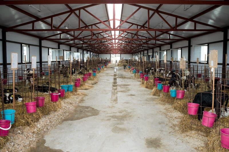 Μόσχοι σε ένα αγρόκτημα στοκ φωτογραφία