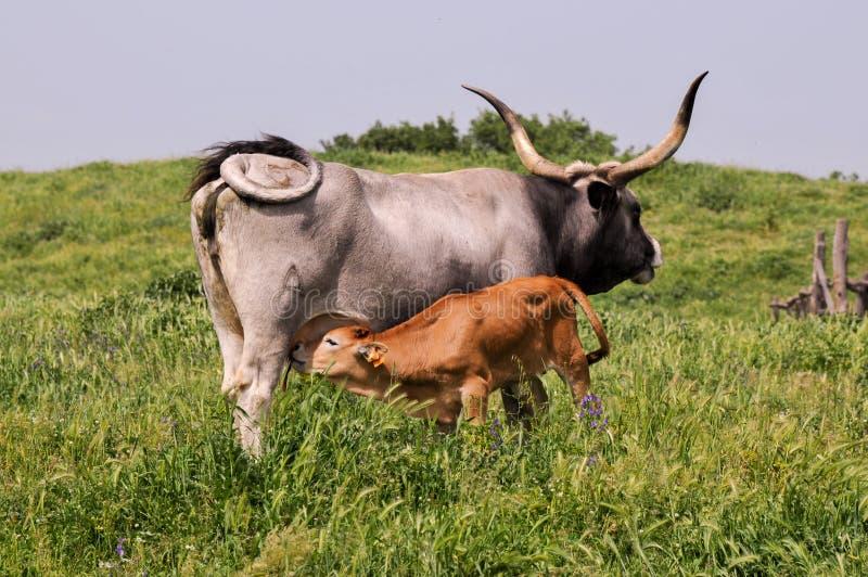 Μόσχος που απορροφά την αγελάδα στοκ εικόνες