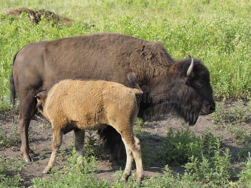 Μόσχος Buffalo και αυτό βόρεια Ντακότα μητέρων ` s στοκ εικόνες