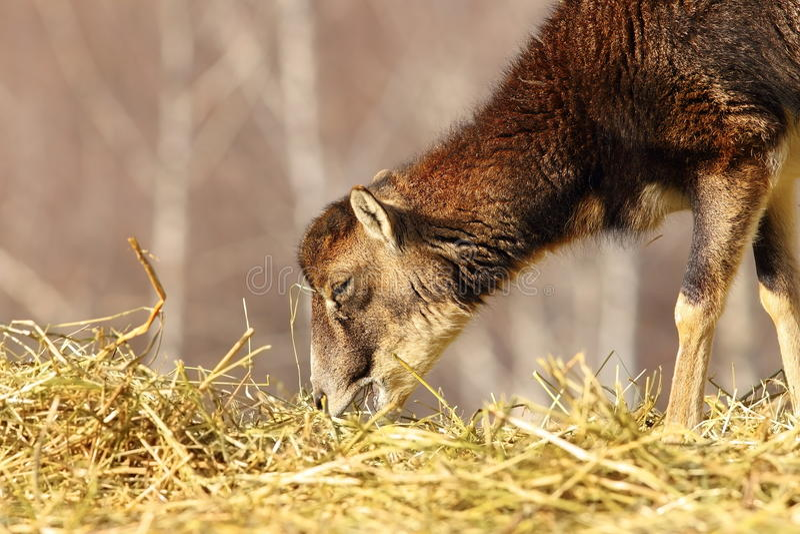 Μόσχος Mouflon που τρώει το σανό στοκ φωτογραφία με δικαίωμα ελεύθερης χρήσης