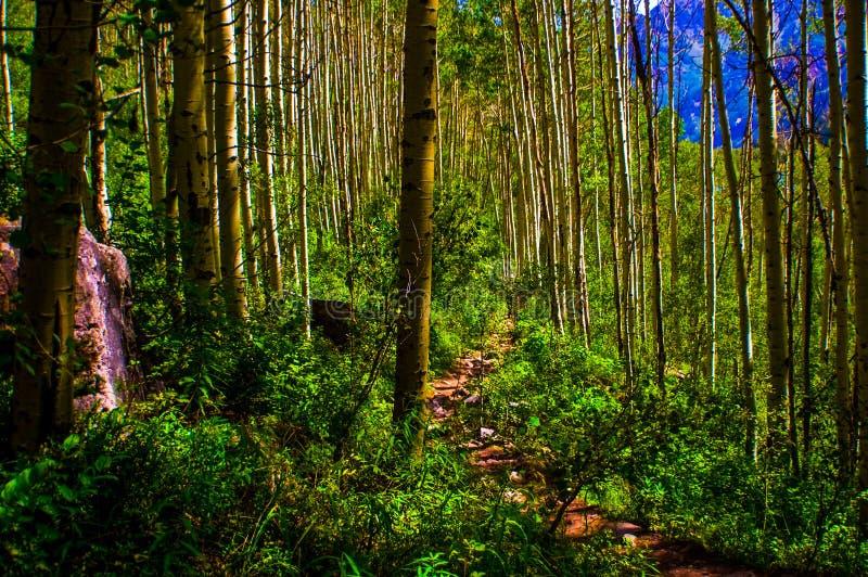 Μόλυβδοι ιχνών δασών της Aspen στις περιπέτειες αγριοτήτων στοκ φωτογραφία