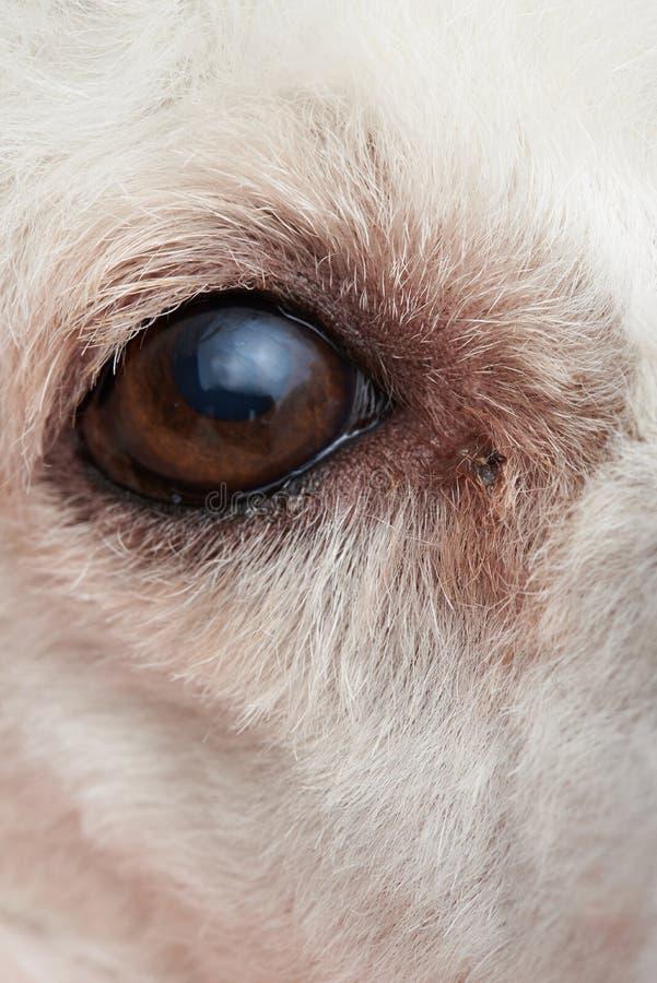 Μόλυνση στο μάτι σκυλιών στοκ εικόνα με δικαίωμα ελεύθερης χρήσης