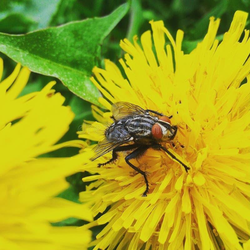 Μύγα, έντομο, ζώο, μακροεντολή, φύση, λουλούδι, κίτρινο, στοκ εικόνα