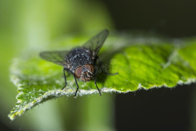 Μύγα ή μύγα ρ Bluebottle κινηματογραφήσεων σε πρώτο πλάνο vomitoria Calliphora bottlebee στοκ εικόνες