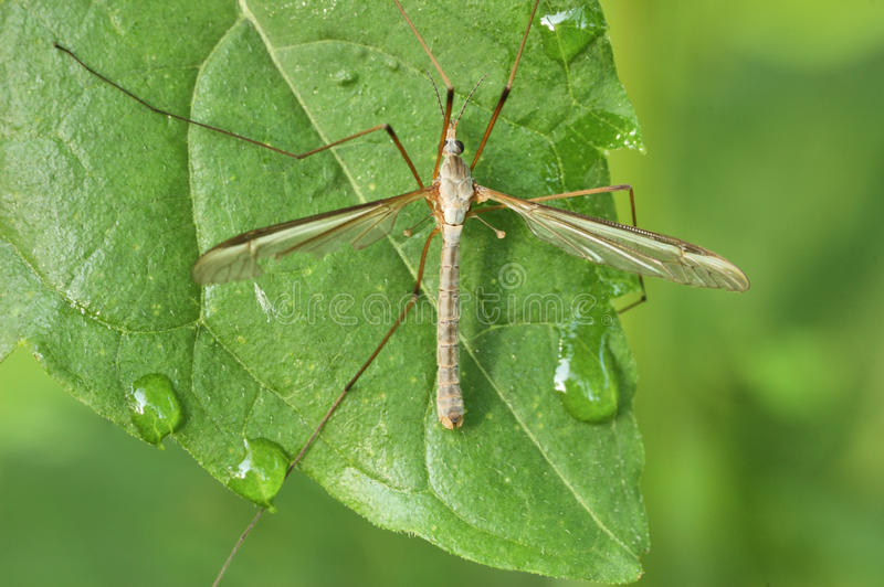 μύγα γερανών στοκ φωτογραφία