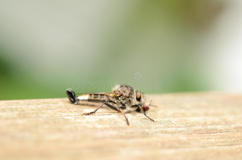 Μύγα δολοφόνων με ακριβώς το πιασμένο θήραμα στον ξύλινο πίνακα στοκ εικόνα
