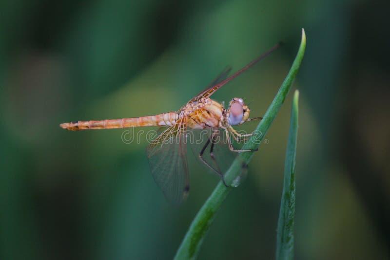 Μύγα δράκων καφετιά στο χρώμα που κρατά μια πράσινη χλόη και που ταΐζει με την μακρο πυροβολισμός της λιβελλούλης με τα διαφανή φ στοκ εικόνες με δικαίωμα ελεύθερης χρήσης
