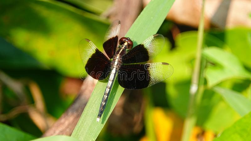 Μύγα δράκων με τα μαύρα φτερά στοκ φωτογραφία με δικαίωμα ελεύθερης χρήσης