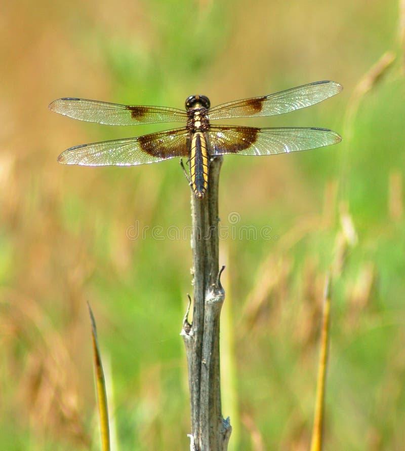 Download μύγα δράκων στοκ εικόνα. εικόνα από μύγα, έντομο, φτερά - 13188577