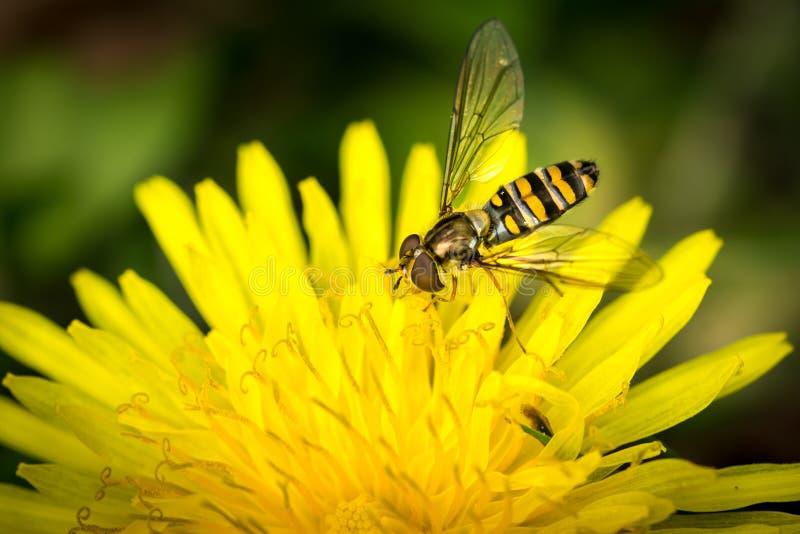 Μύγα κηφήνων πέρα από το κίτρινο λουλούδι (Eristalis tenax) στοκ φωτογραφία με δικαίωμα ελεύθερης χρήσης
