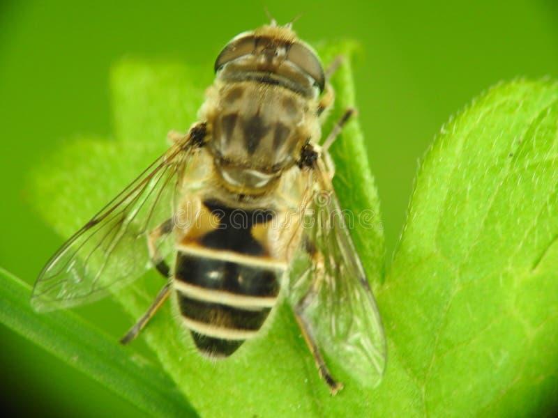 Μύγα κηφήνων στοκ εικόνες