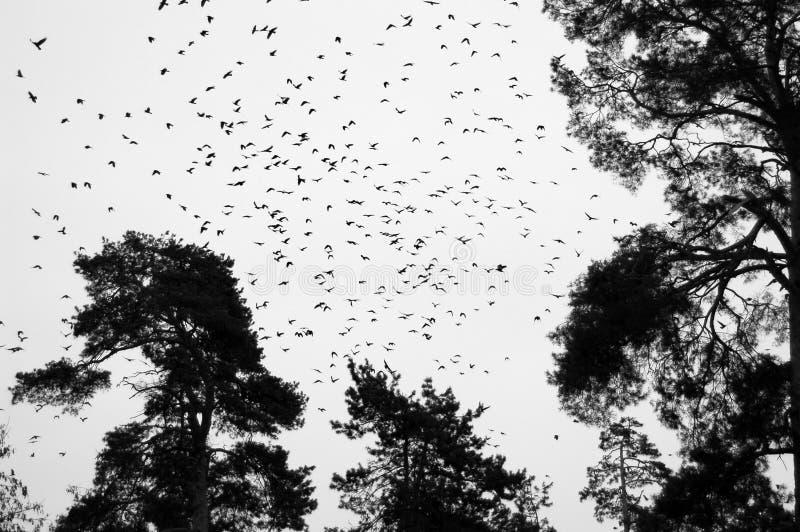 μύγα κοράκων στοκ εικόνα με δικαίωμα ελεύθερης χρήσης