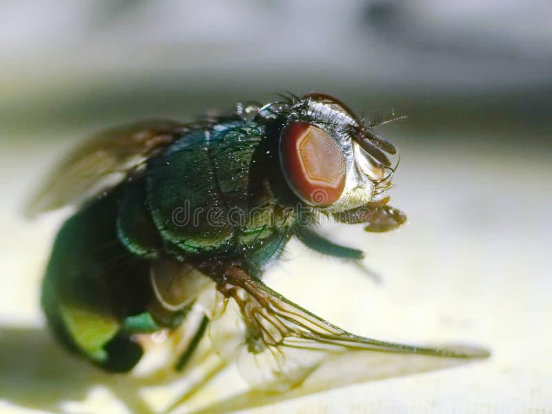 Μύγα Μακροεντολή στοκ εικόνες