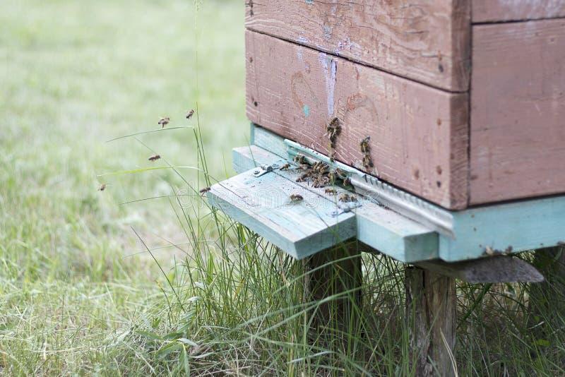 Μύγα μελισσών στην κυψέλη για να συλλέξει το μέλι Σπίτι μελισσών στο μελισσουργείο Μελισσοκομία φυσική στοκ φωτογραφία με δικαίωμα ελεύθερης χρήσης
