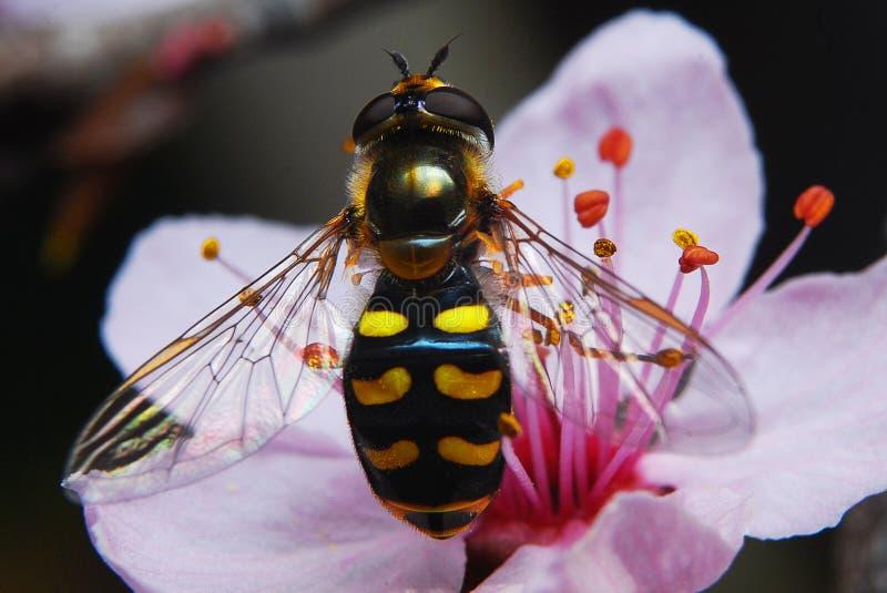 Μύγα που μοιάζει με μια σφήκα έτοιμη να πετάξει στοκ φωτογραφίες με δικαίωμα ελεύθερης χρήσης