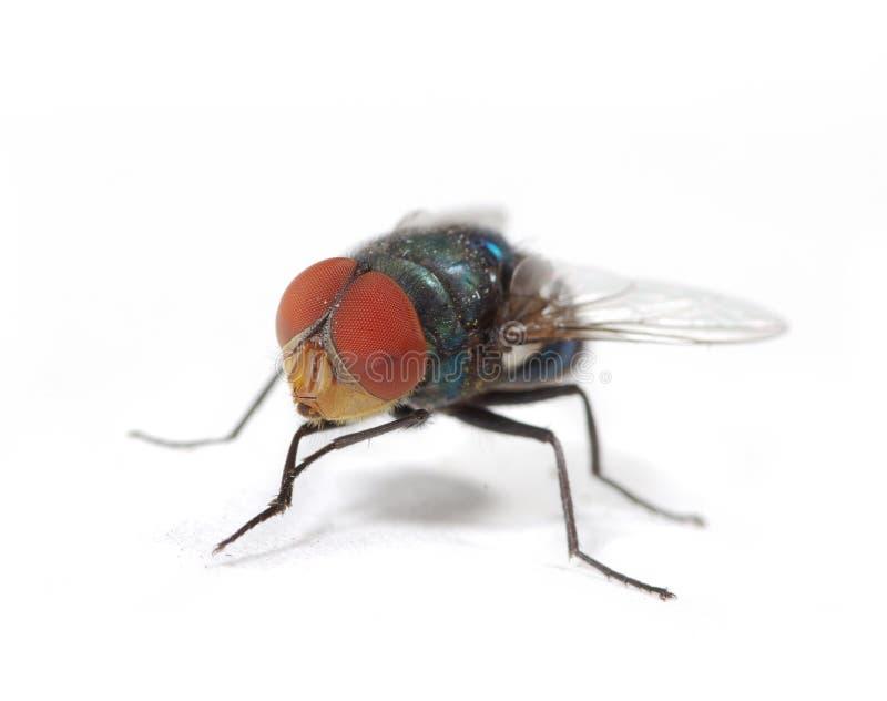 μύγα πράσινη στοκ φωτογραφία