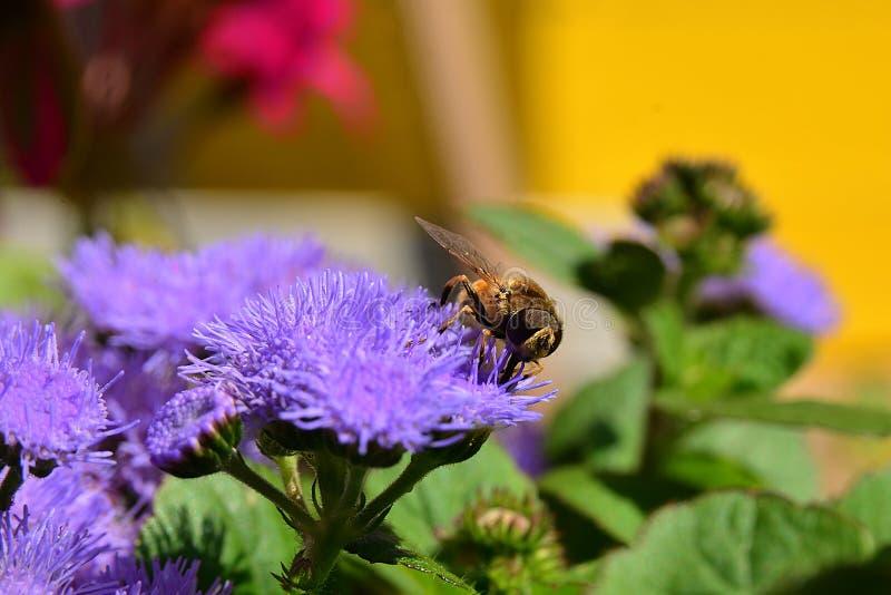 Μύγα σε ένα πορφυρό στενός-AP λουλουδιών στοκ φωτογραφίες