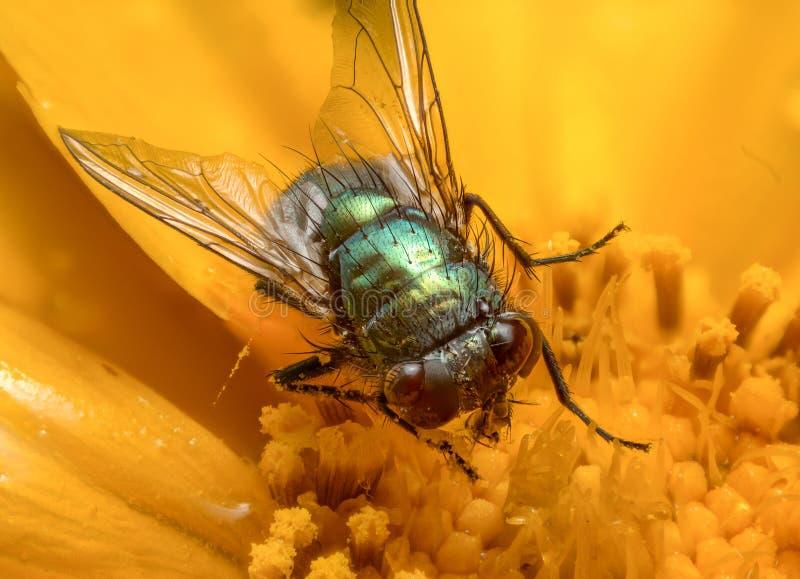 Μύγα σε μια κίτρινη ακραία μακροεντολή λουλουδιών στοκ εικόνες